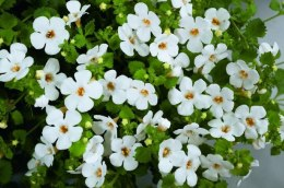 Bacopa Scopia , Gulliver Dynamic White'