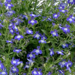 Lobelia Anabel ,Superior Blue'